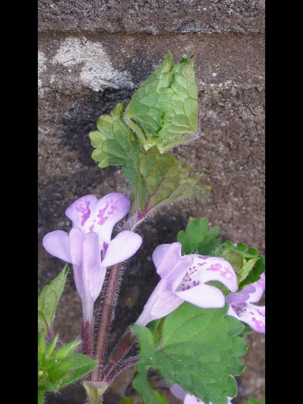 カキドオシ 花の背と若い葉序