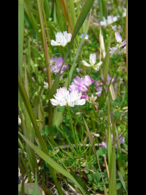 ゲンゲ やや白い花