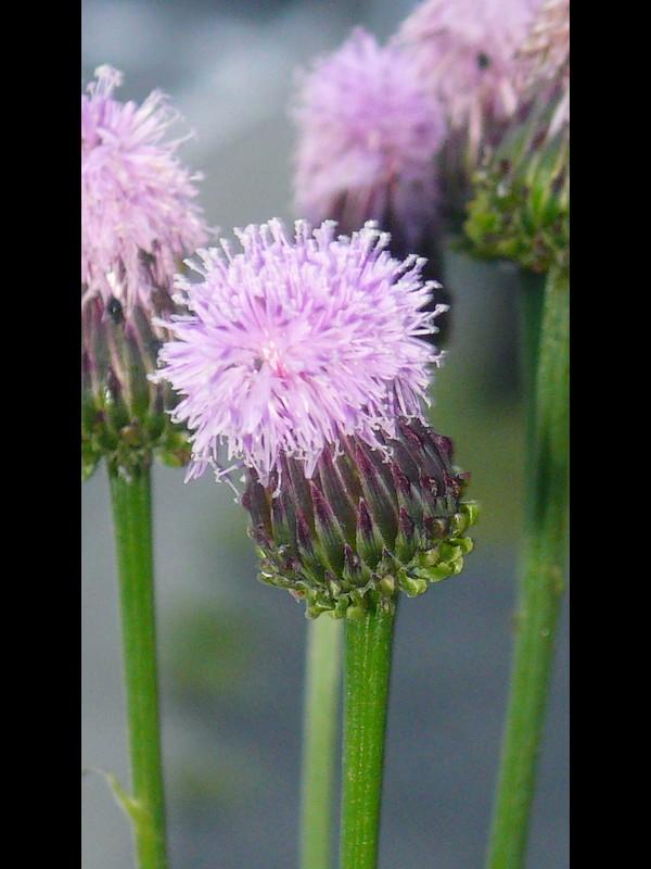 キツネアザミ 頭花
