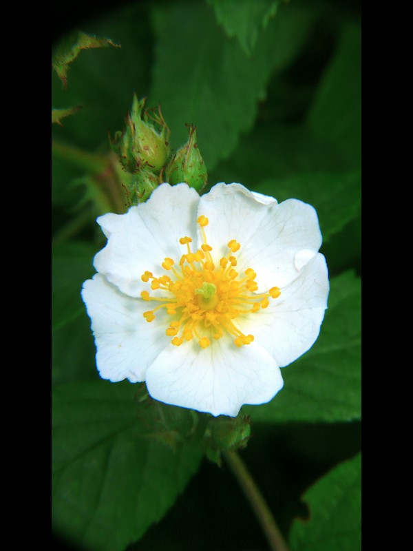 ノイバラ 花