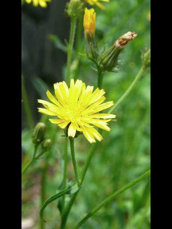 コウゾリナ 頭花