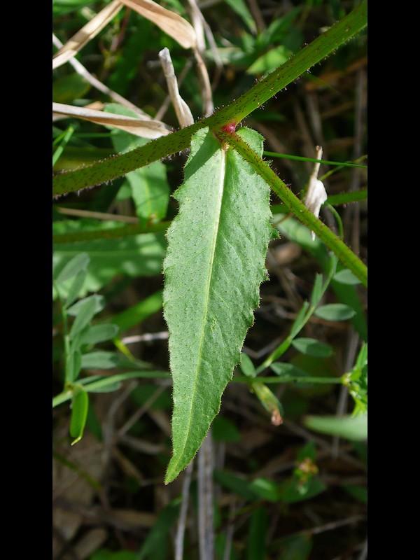 コウゾリナ 葉