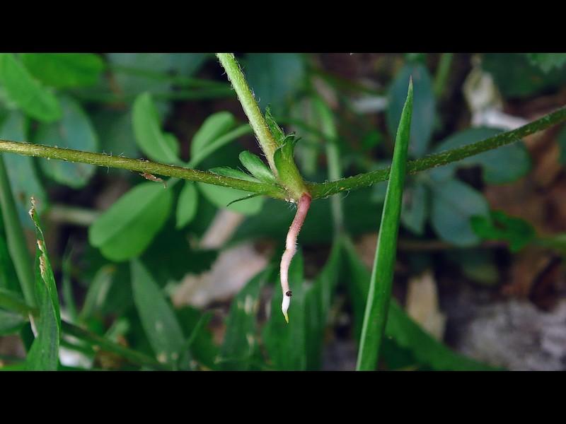 ヤブヘビイチゴ 走出枝の根