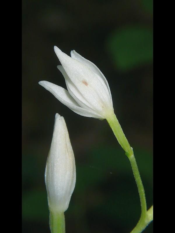 ササバギンラン 花の後ろ