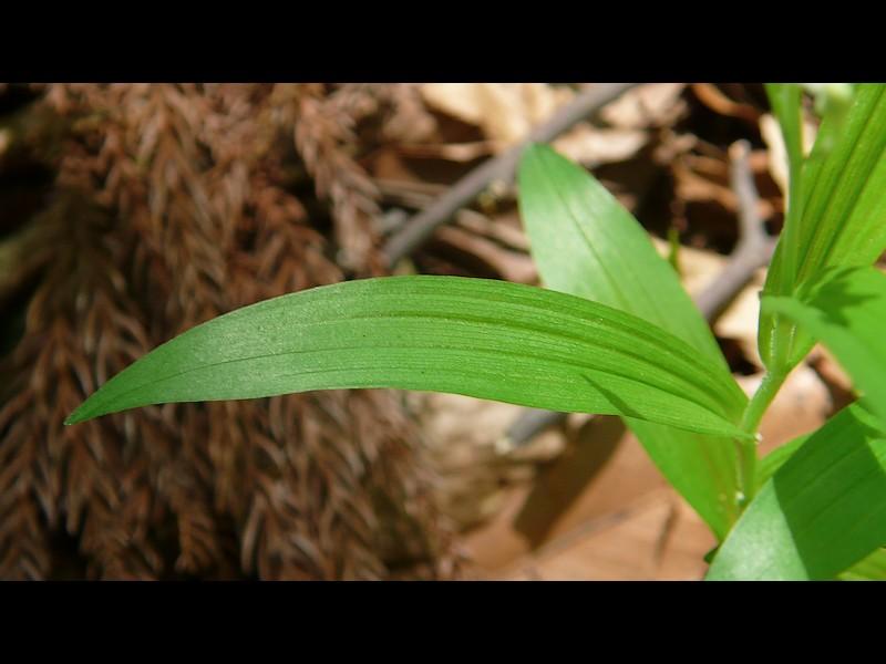 ササバギンラン 葉