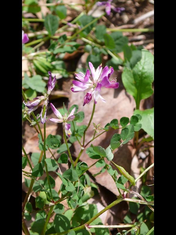 ゲンゲ 花序