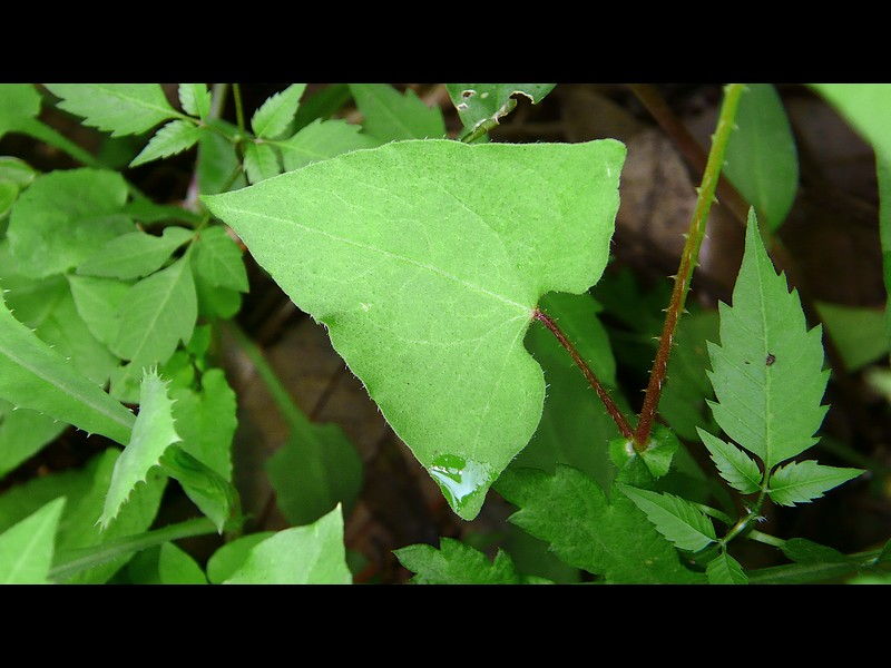 ママコノシリヌグイ 葉