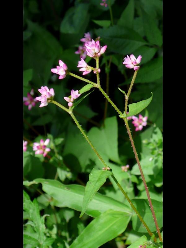 ママコノシリヌグイ 花序