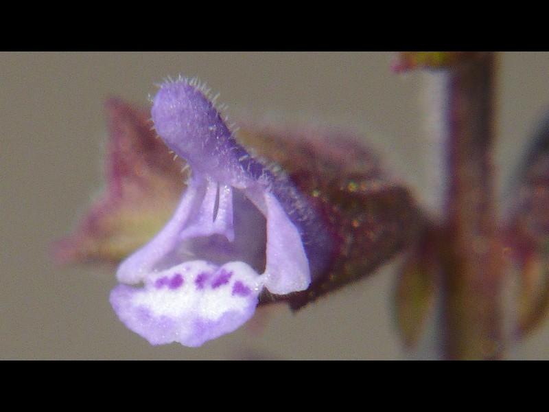 ミゾコウジュ 花
