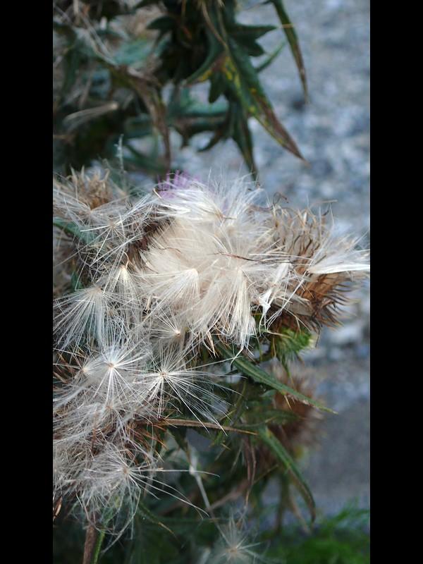アメリカオニアザミ 果実の溢れる冠毛