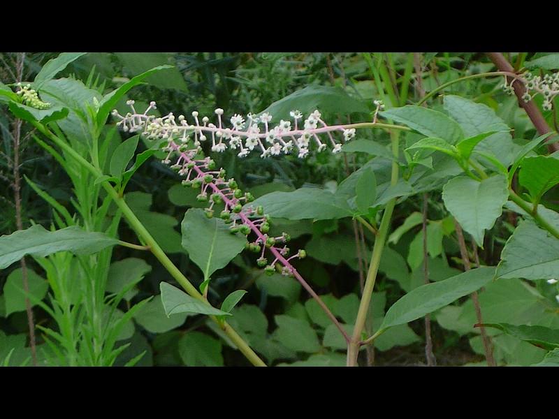 ヨウシュヤマゴボウ 花序