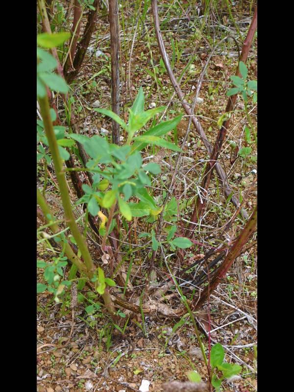 シロバナシナガワハギ 茎(株元)