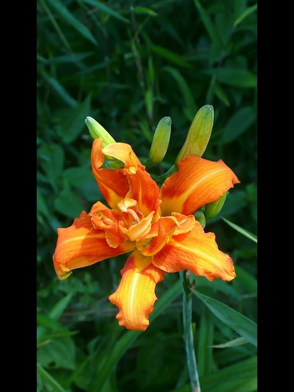 ヤブカンゾウ 花
