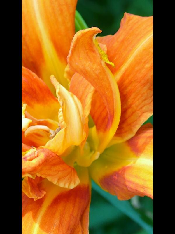 ヤブカンゾウ 花弁と化したシベ