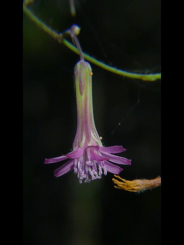 ケムラサキニガナ 花