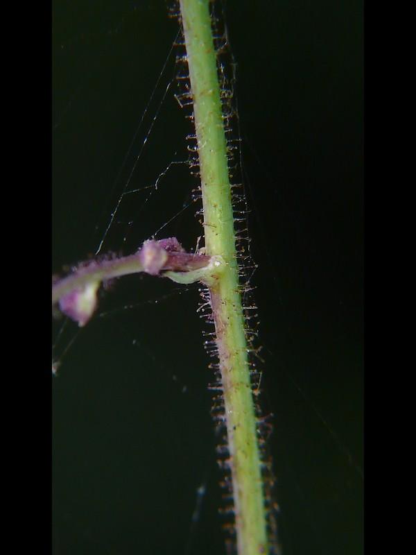 ケムラサキニガナ 花序軸(細い部分)