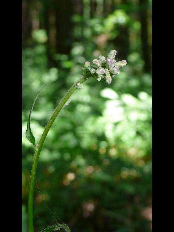 ケムラサキニガナ 若い花序と蕾の姿