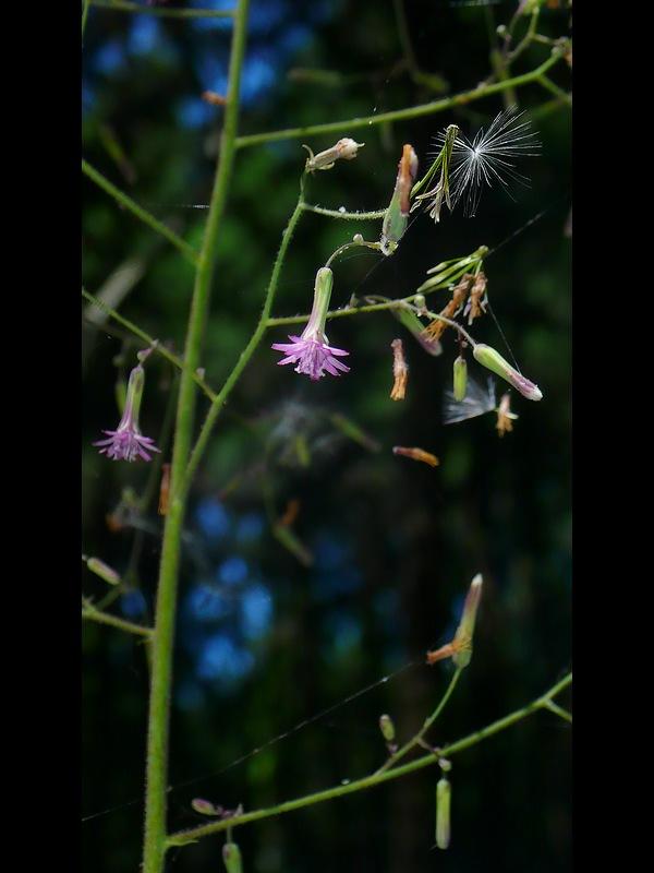 ケムラサキニガナ 花序