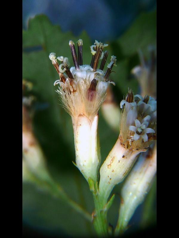 ヤブレガサ 頭花