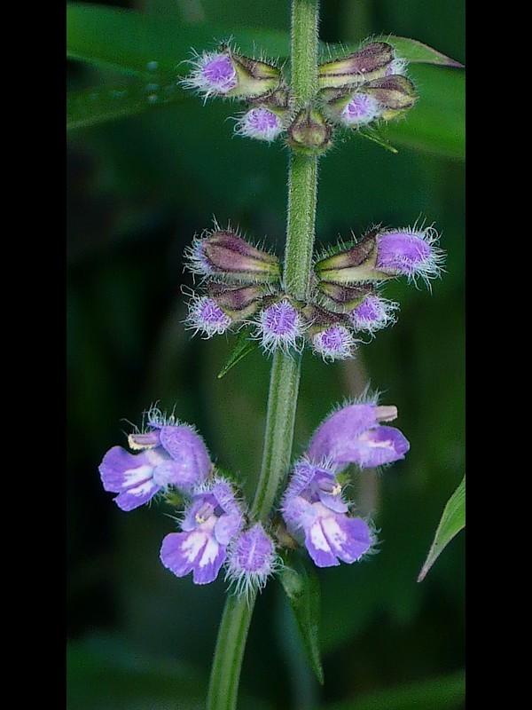 ケブカアキノタムラソウ 花序