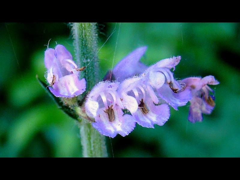 ケブカアキノタムラソウ 花