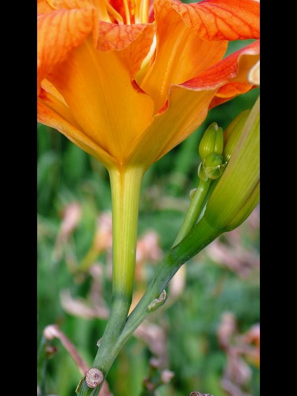 ヤブカンゾウ 花筒と花柄