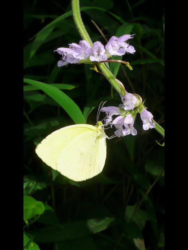 ケブカアキノタムラソウ 花と蝶