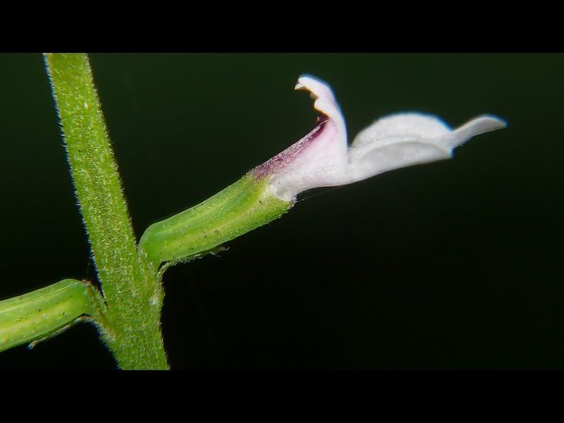ハエドクソウ 花横(萼と花序軸と苞)