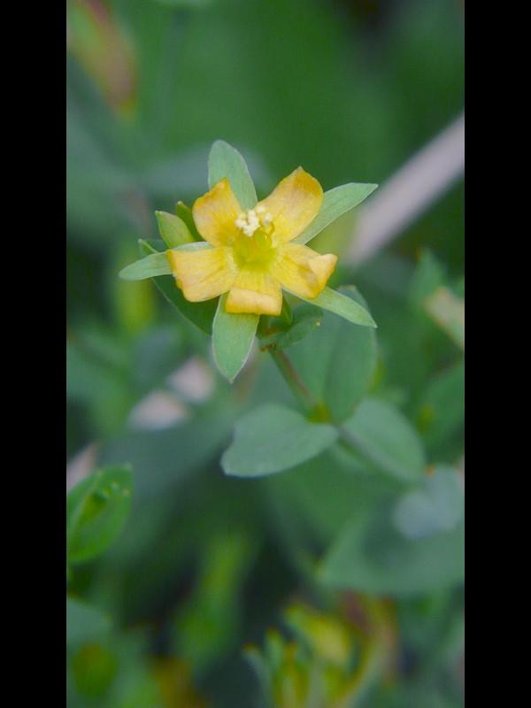 コケオトギリ 花