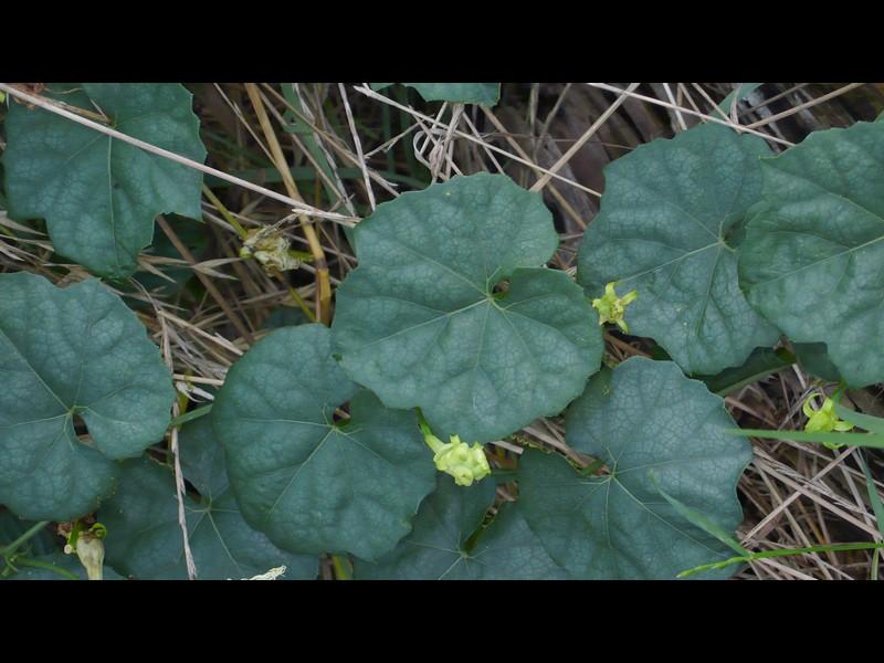 キカラスウリ 丸葉つや鈍の葉