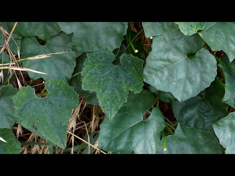 カラスウリ 丸葉つや鈍の葉のキカラスウリ 葉