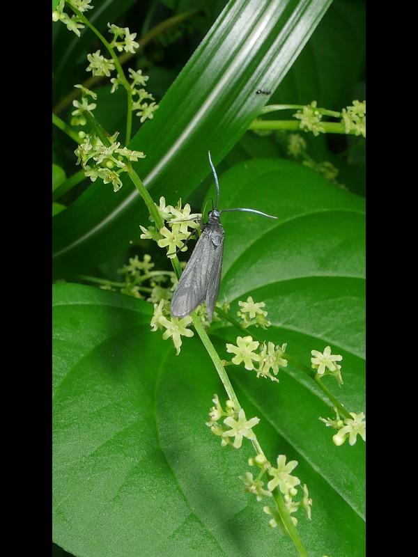 オニドコロ 雄花とウスグロマダラ