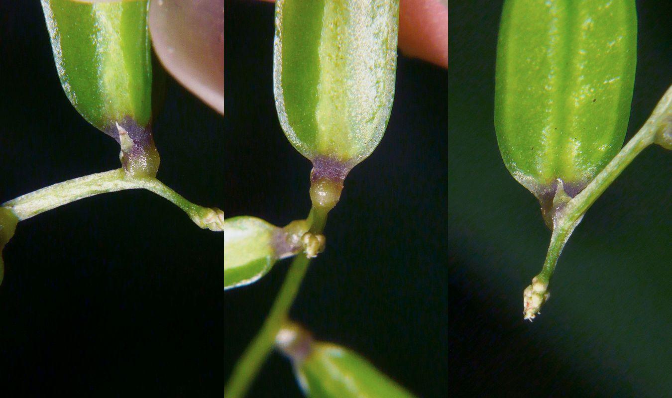オニドコロ 雌花の苞