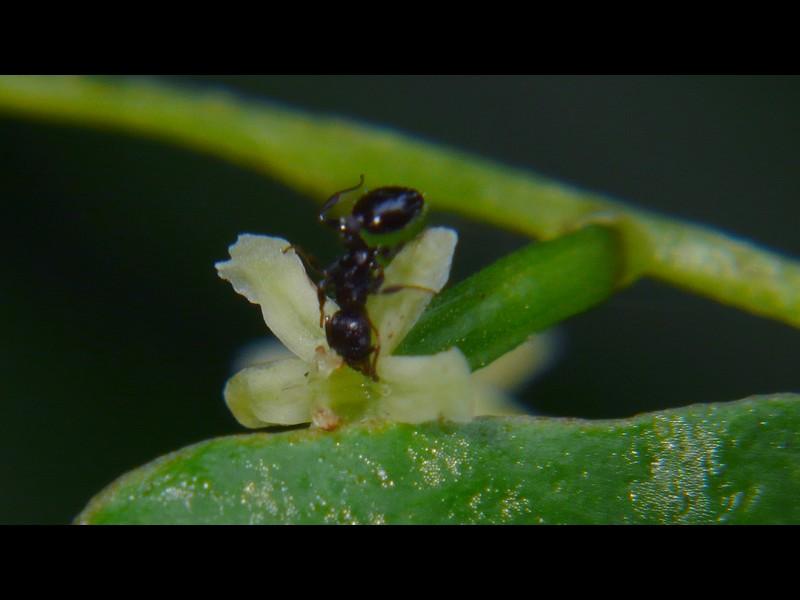 オニドコロ 雌花と蟻