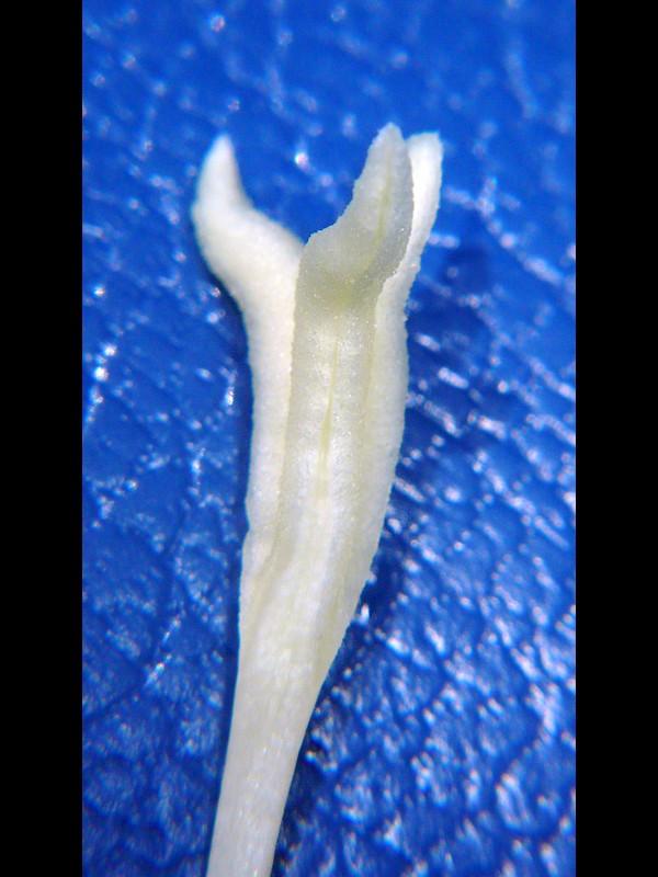 カラスウリ 雌花柱頭