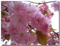 八重桜-1-