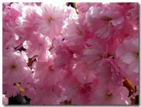 八重桜-2-