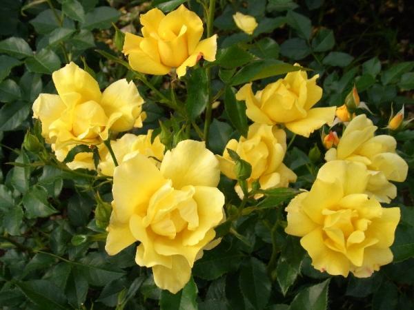 Yellow Simplicity YOYOGI08