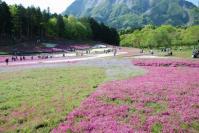 芝桜 002