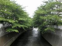 ka.神田川桜