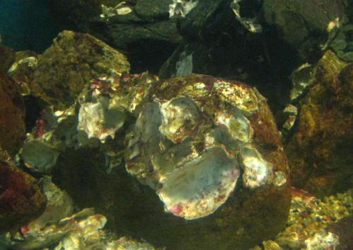 八島水族館岩カキ