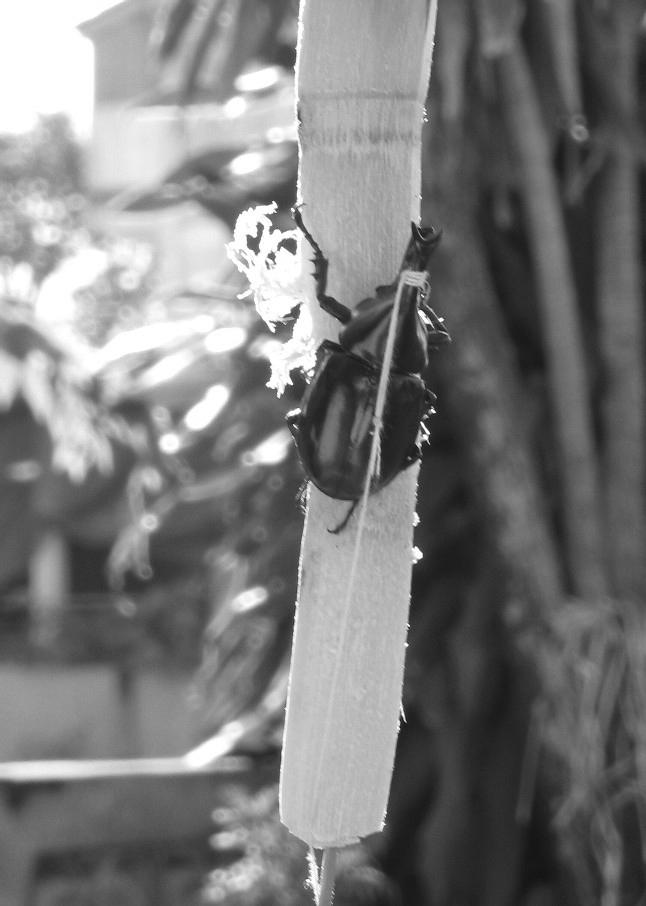 餌のさとうきびに縛られて売られているカブトムシ