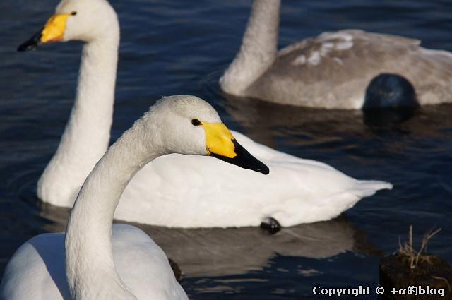 swan1112a_eip.jpg