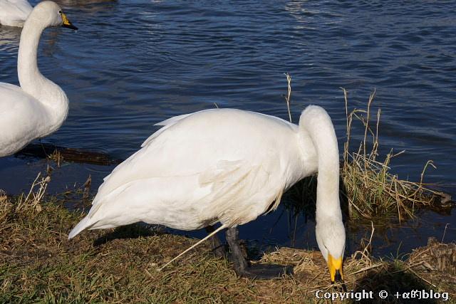 swan1112d_eip.jpg