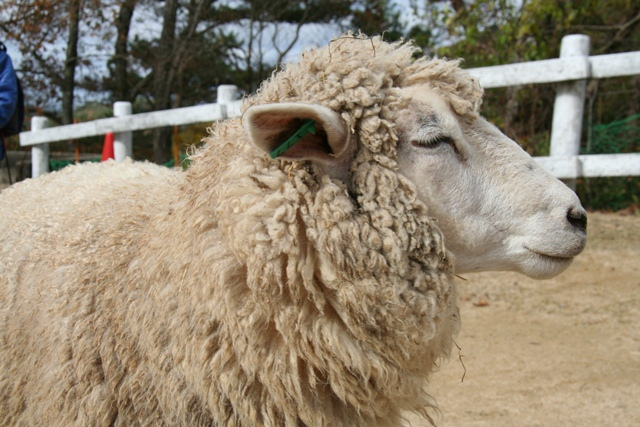 101123 羊