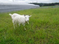 [写真]草を食べているところで名前を呼ばれ、顔をあげるアラン