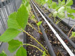[写真]本舗ハウスの高設ベッドに植えられたおいCベリーの苗