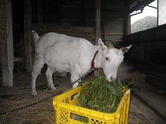 [写真]のぶ子さん宅の牛舎で、餌を食べるアランの様子