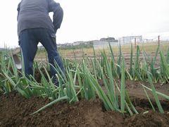 [写真]三郎さんがネギ畑の泥上げ作業をしているところ