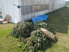 [写真]受付ハウス前に山積みされた枝豆の束